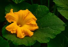 Pumpkin flower Royalty Free Stock Photo
