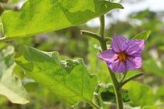 The pumpkin  flower Stock Photo