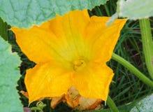Pumpkin flower Stock Images