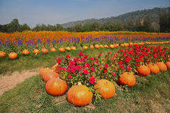 Pumpkin and flower garden at Jim Thomson farm Royalty Free Stock Photography
