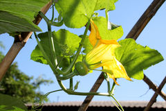 Pumpkin flower growing in tropical organic vegetable garden Stock Photography