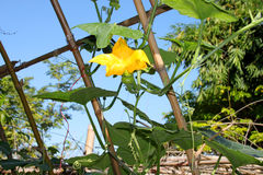 Pumpkin flower growing in tropical organic vegetable garden Royalty Free Stock Photo