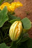 A pumpkin flower that grows in a field. A pumpkin flower grows in the field, one blooming and one closed royalty free stock photo