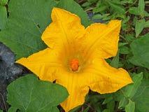 Pumpkin Flower - star Royalty Free Stock Image