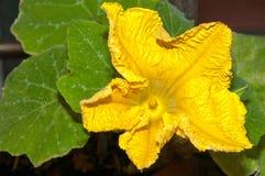 Pumpkin flower. Vegetable - yellow flower of pumpkin plant stock photos
