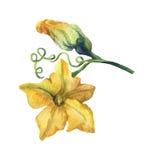 Pumpkin flower watercolor painting Stock Photo