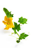 Pumpkin flowers Stock Images