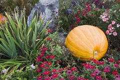 Pumpkin and Flowers. Large pumpkin in colorful flowerbed Royalty Free Stock Photography