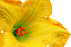 Pumpkin flowers Stock Image