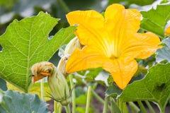 Pumpkin flowers Stock Photos