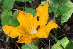 Pumpkin flowers and bees Stock Image