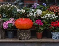 Pumpkin and flowers in flowerpots stock image