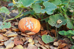 Pumpkin On Garden Bed Royalty Free Stock Photography