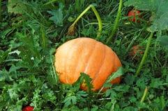 Pumpkin in garden-bed Royalty Free Stock Image