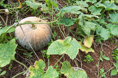 Pumpkin in the garden Stock Images