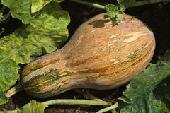 pumpkin (gourd) Stock Photos