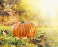 Pumpkin in  grass with autumn foliage on backgroun of fall garden Stock Images