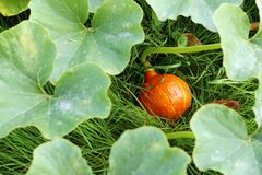 Pumpkin in the grass Stock Photos