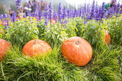Pumpkin on grass with lavender background Stock Photography