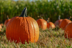 Pumpkin on Grass. Pumpkins sitting on grass, focus on one pumpkin. Pumpkins sold at farm to be used for Halloween and Fall decorations, or as ingredients for Stock Photography