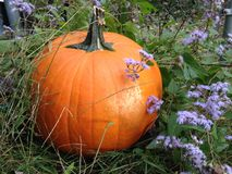 Pumpkin in the grass with purple flowers Royalty Free Stock Images