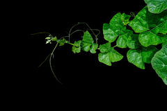 Pumpkin green leaves with hairy vine plant stem and tendrils on Stock Image