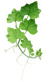 Pumpkin green leaves with hairy vine plant stem and tendrils iso royalty free stock photography
