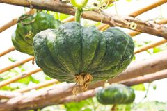 Pumpkin green on the scaffold Royalty Free Stock Photography