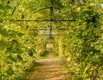 Pumpkin green tunnel. Green tunnel of pumpkin plant Stock Image