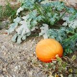 Pumpkin on the ground Stock Photos