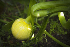 Pumpkin growing Stock Photography