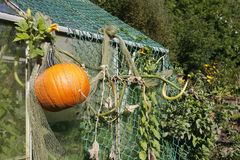 Pumpkin growing in an allotment Stock Images