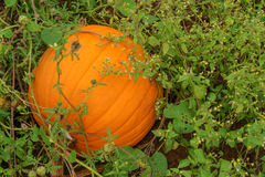 Pumpkin Growing Royalty Free Stock Photo