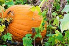 Pumpkin Growing Royalty Free Stock Photos