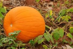 Pumpkin Growing Royalty Free Stock Images
