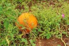 Pumpkin Growing Royalty Free Stock Image