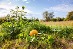 Pumpkin growing on the field Royalty Free Stock Photo