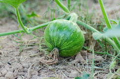 Pumpkin growing Royalty Free Stock Photography