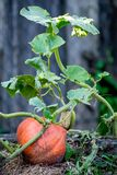 The pumpkin growing in the garden. In front of the house will soon be reaped stock image