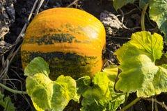 Pumpkin growing in garden. Pumpkin  growing  garden  fall  agriculture  autumn farm  field  green  harvest Royalty Free Stock Photos