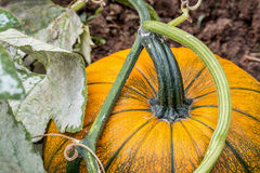 Pumpkin growing in a garden stock image