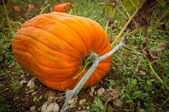 Pumpkin growing Royalty Free Stock Photos
