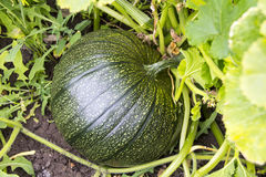 Pumpkin growing on the plantation. Green pumpkin growing on the plantation Stock Photography