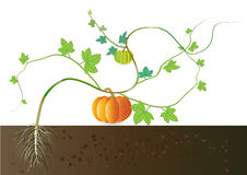 Pumpkin ,growing pumpkin from roots underground Royalty Free Stock Photo