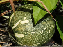 A pumpkin growing in the tropics. Royalty Free Stock Photos