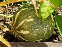 A pumpkin growing in the tropics. Royalty Free Stock Image