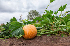 Pumpkin growing on the vegetable patch Royalty Free Stock Photography