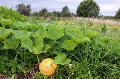 Pumpkin growing on the vegetable patch Stock Photo