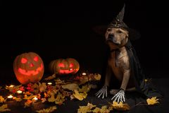 Pumpkin for halloween and dog in magic cap with leaves and candles on wooden floor