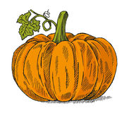 Pumpkin. Hand drawn pumpkin isolated on white royalty free illustration